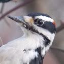Hairy Woodpecker ♂