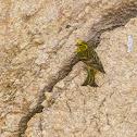 Yellowhammer,Escrevedeira-amarela