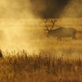 Bull Elk at Sunrise by Linda Labbe - Animals Other Mammals ( elk, morning fog, autumn colors, sunrise, fall grasses )