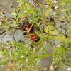 Spotless Lady Beetle