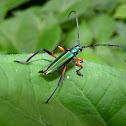 Longhorn Beetle - Escarabajo