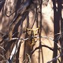 Stripedtail Scorpion