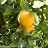 Grapefruit tree and fruit