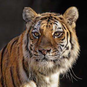 Tiger closeup-1-2.jpg