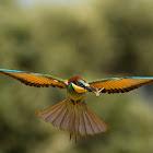 European Bee-eater  -  Abelharuco-comum