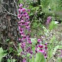 Arkansas Twistflower