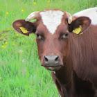 Freemartin (cattle)