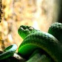 Green palm viper