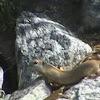 Wyoming Ground Squirrel