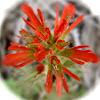 Common Red Paintbrush