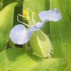 Slender Dayflower