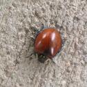 Giant Lady Beetle