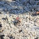 Sand Fiddler Crabs
