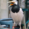 Pied Myna or Asian Pied Starling