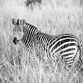 Blending in by Werner Booysen - Animals Other Mammals ( wild animal, wilderness, nature, black and white, nature and wildlife, zambia, safari, wildlife, nature photography, zebra, werner booysen, , animal )