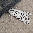 Many-spotted Tiger Moth