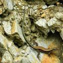 Lagartija cantábrica, Iberian rock lizard