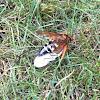 Eastern cicada killer (female)