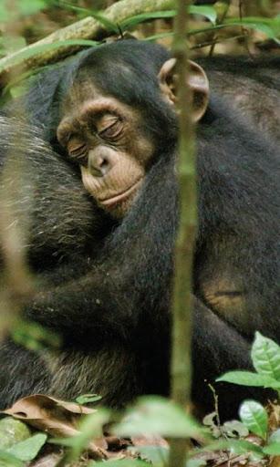 チンパンジーの壁紙