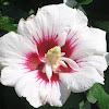 Red heart hibiscus
