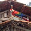 Arara vermelha grande - Red and green macaw