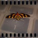 Red Waisted Florella Moth