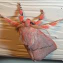 Comana Cosmocalla (Moth)