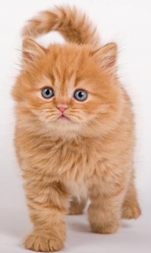急なジンジャー子猫