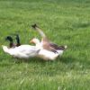 Mallard Ducks, Domestic Ducks & Geese