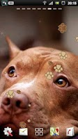 Screenshot of Pitbull Dog Live Wallpaper