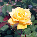 Grandiflora Rose 'Strike It Rich'