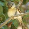 Pacific-slope Flycatcher (juvenile)