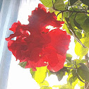 Chinese Hibiscus