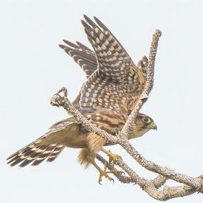 Merlin Alights by Rich Eginton - Animals Birds ( sky, tress, landing, tail feathers, wings, merlin,  )