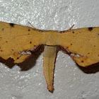 Twisted moth