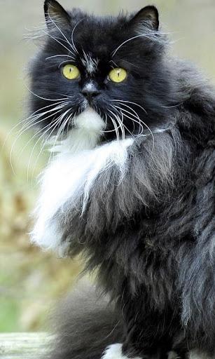 漂亮的猫壁纸