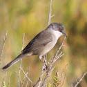 Toutinegra-de-cabeça-preta (Fêmea)