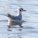 Boneparte's Gull