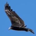 Turkey Vulture (Juvenile)