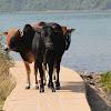 Cattle (黃牛)