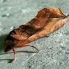 Noctuoidae