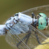 Marsh Skimmer (呂宋灰蜻)