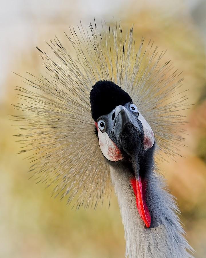 Grey-Crowned Crane's 'Spike-Do' by Leslie Reagan - Animals Birds ( bird, nature, grey-crowned, crane,  )