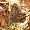 Chalk-hill blue (female)