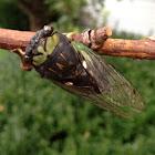 """Swamp Cicada"""