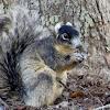 Sherman's Fox Squirrel