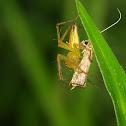 Lynx Spiders (Oxyopidae)