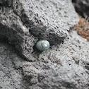 Nerita snail
