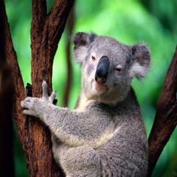 3Dかわいいコアラ