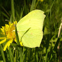 Common Brimstone